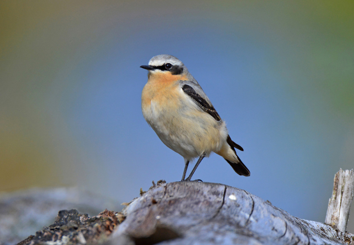 001-male-wheatear-portrait