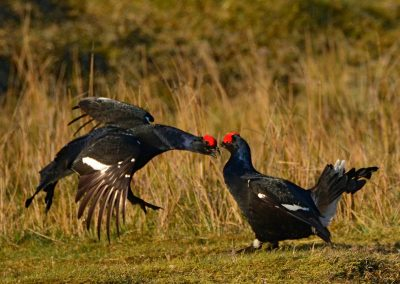 Black Grouse attack
