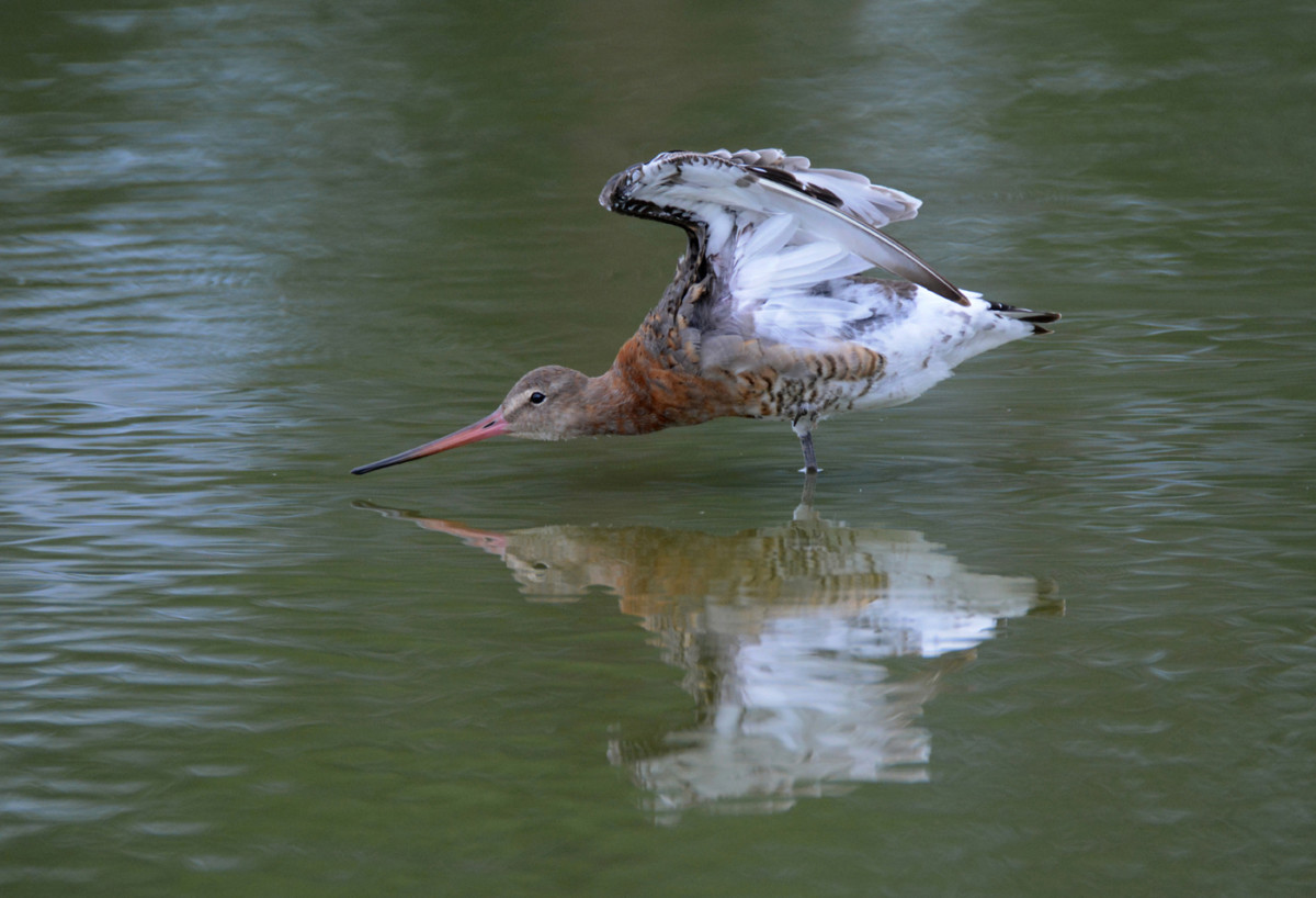 black-tailed-godwit-reflected