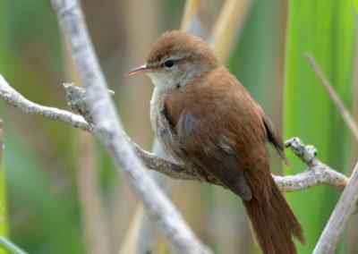dsc1851av-cettis-warbler-this