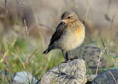 juvenile-greenland-wheatear