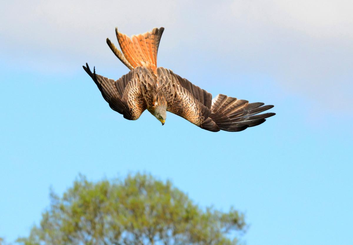 red-kite-stooping