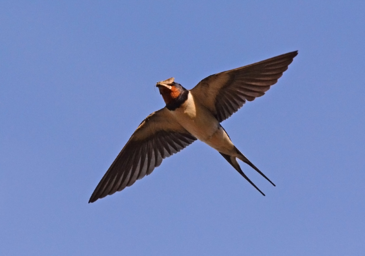 003 Swallow in Flight with Caddis Fly
