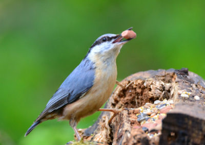 DSC2663 (AV Nuthatch with Nut