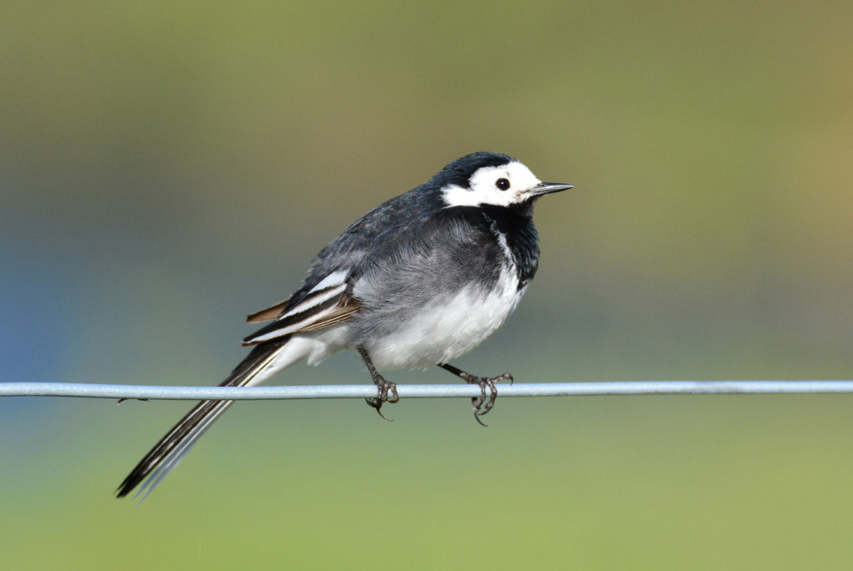 DSC2983AV Pied Wagtail on Fence Wire