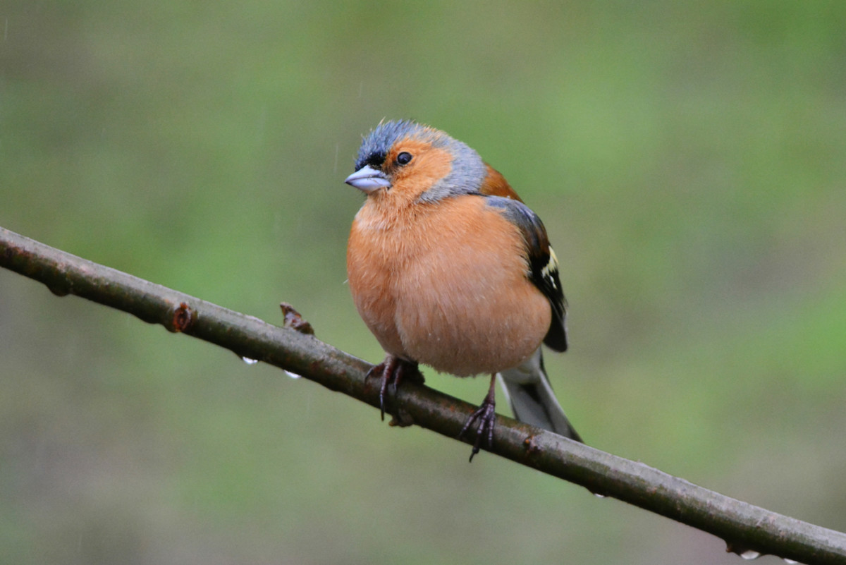 DSC9006AV The Thinking Chaffinch (male)