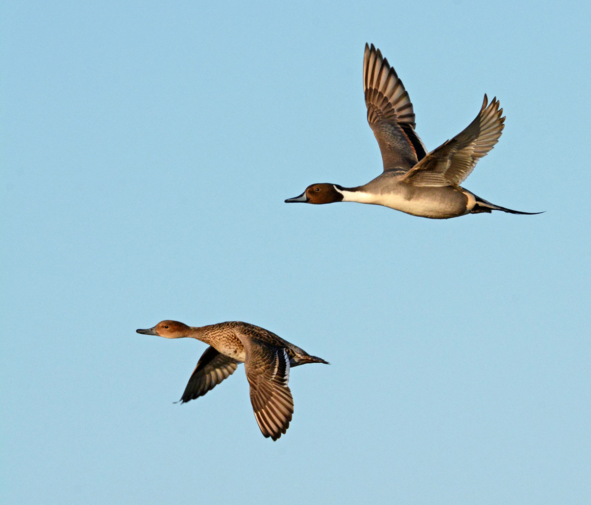 2 Male & Female Pintails in Flight
