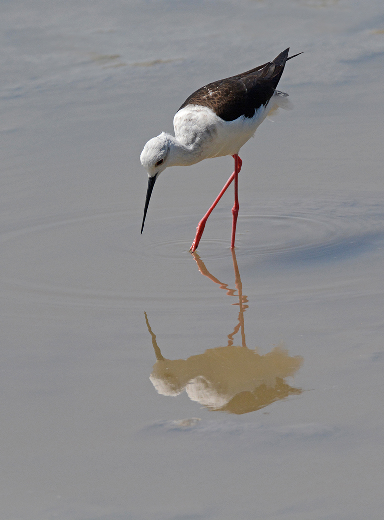 Black- Winged Stilt #1