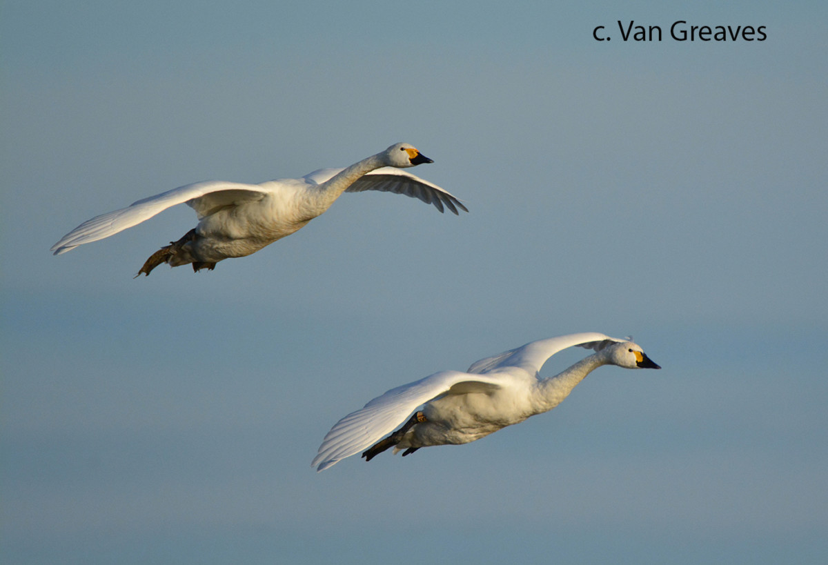 Bewick Swans in Formation