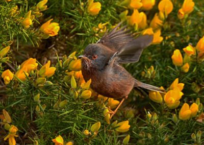 DSC0392AV Flitting Dartford Warbler in Gorse #3 - Copy