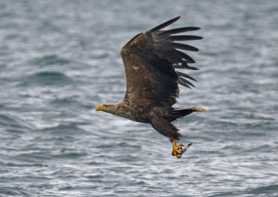 DSC5291AV Sea Eagle Taking Fish