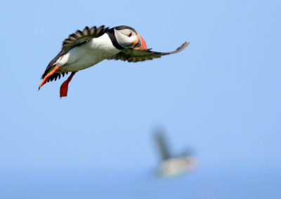 DSC9104 Two Flying Puffins AV