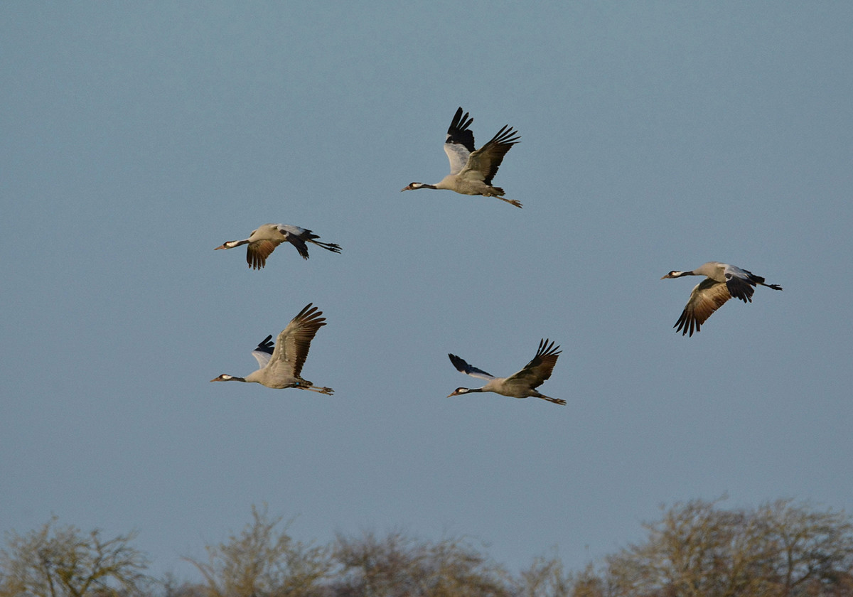 DSC9517AV Common Cranes in Flight