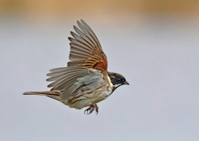 Male Reed Bunting in Flight AV