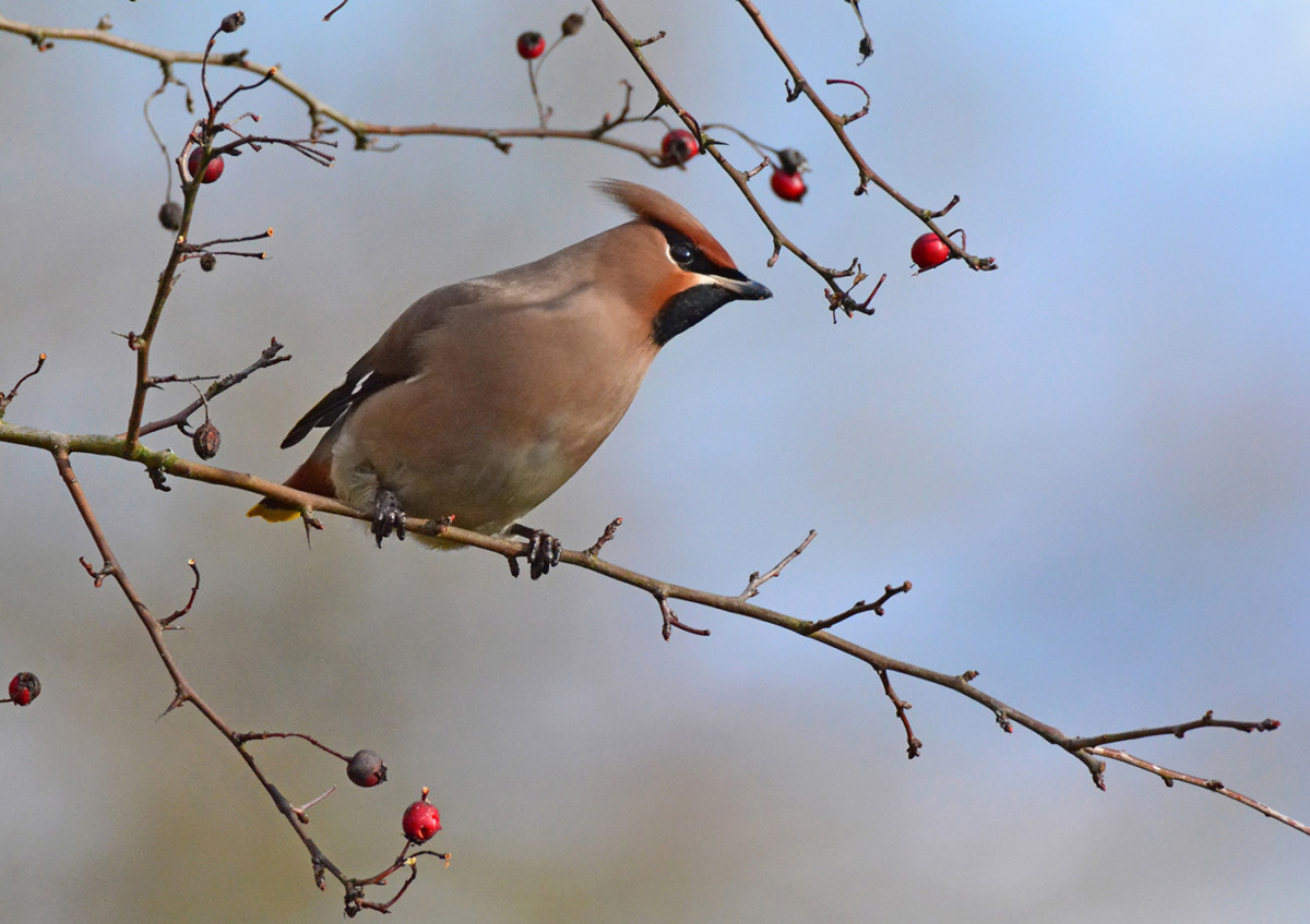 Waxwing among Berries - Copy