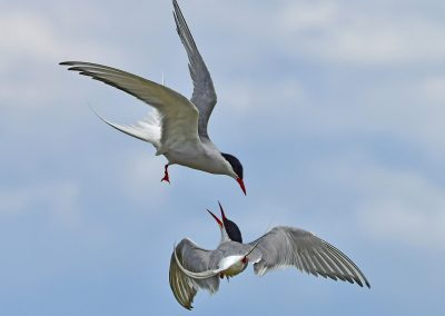 Arctic Terns Squabbling - Copy