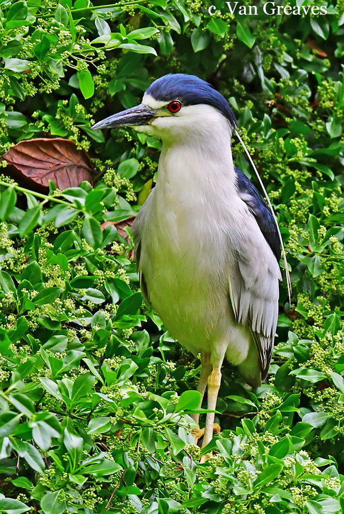 DSC3866AV Male Night Heron - Copy