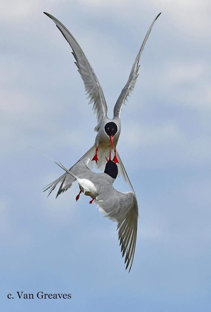DSC6006AV Arctic Tern Clash - Copy - Copy