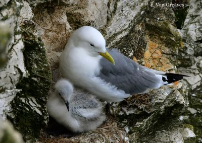 DSC7225AV Kittiwake & Chick - Copy