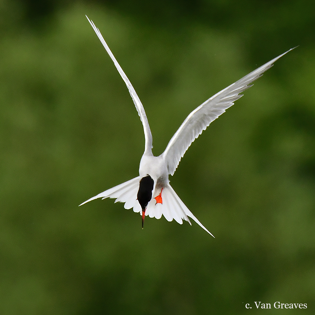 DSC8416AV Common Tern Hovering - Copy