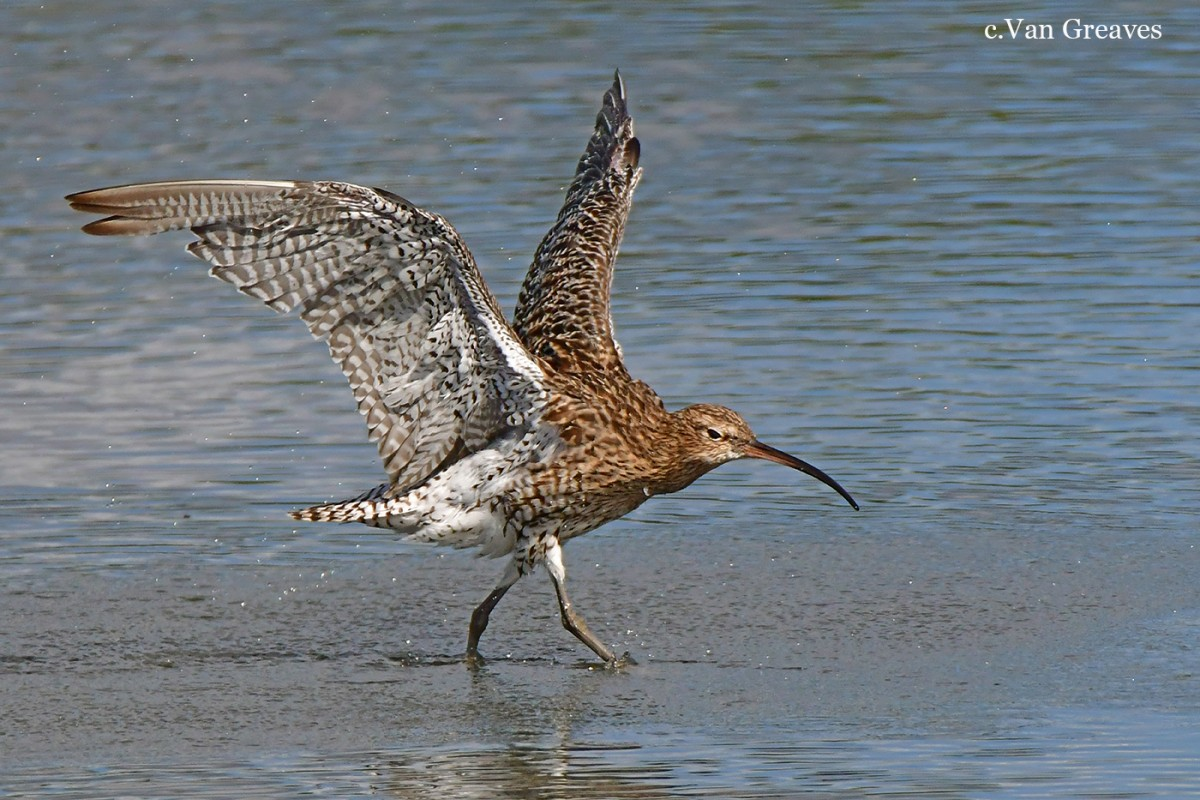 DSC2181AV Curlew on the Run - Copy