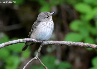 DSC3608AV SPOTTED FLYCATCHER - Copy