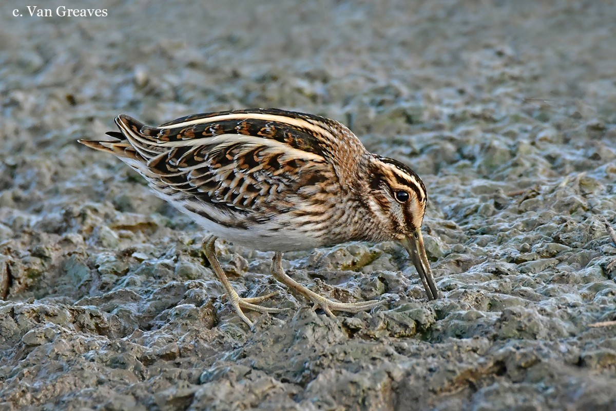 DSC5675AV3 Jack Snipe at Work 2