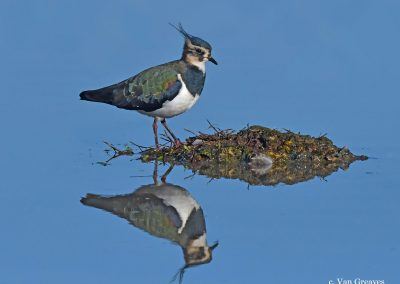 DSC6484AV Lapwing Reflected - Copy - Copy - Copy (2)