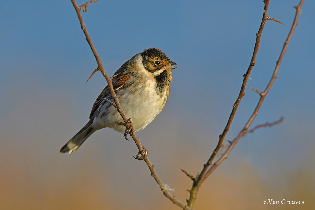 DSC7282AV Reed Bunting Singing - Copy