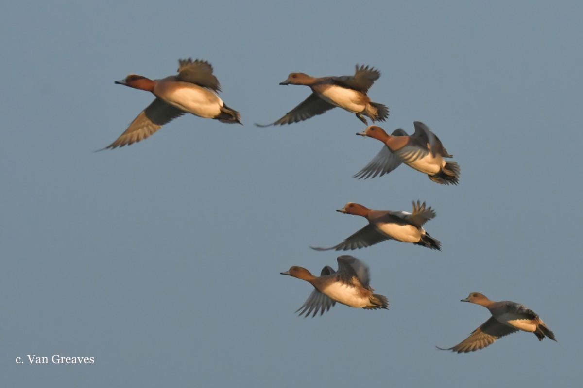 DSC3398AV Wigeon Group in Flight - Copy