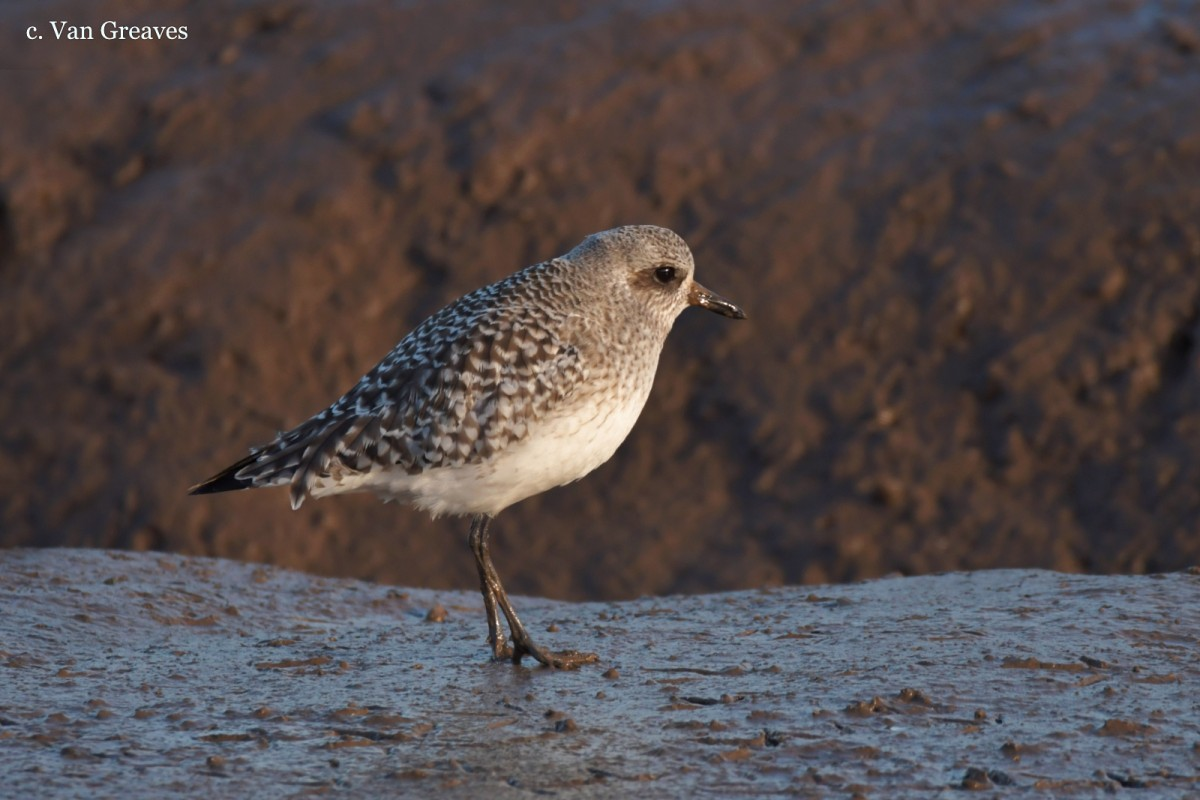 DSC3507AV Grey Plover Profile - Copy - Copy