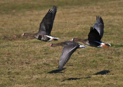 DSC6921AV White Fronted Geese Flying