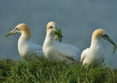 DSC8495AV Gannets with Grasses - Copy