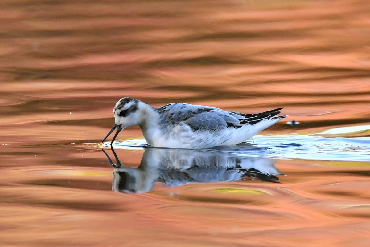DSC9666AV Grey Phalarope Probing for food