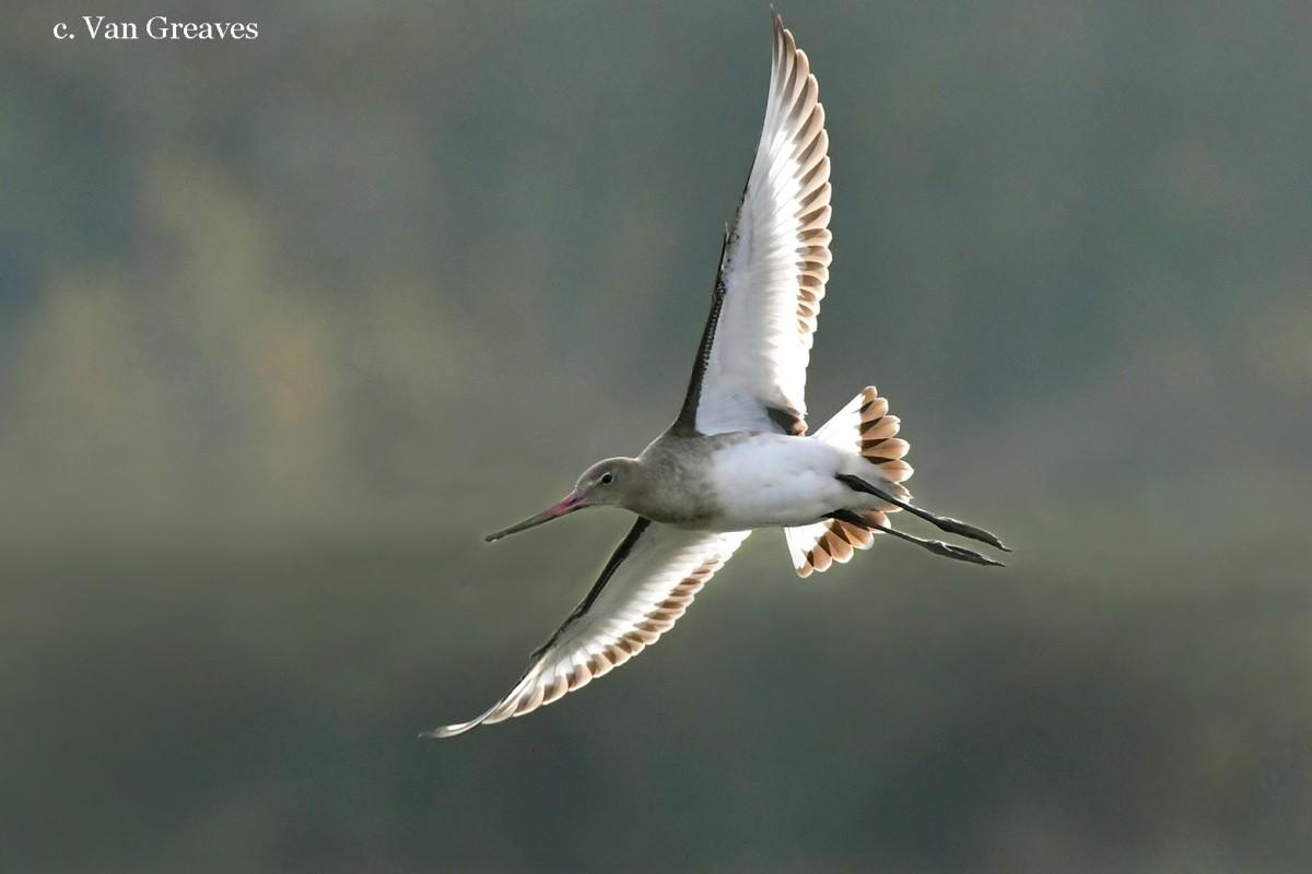 DSC2108AV2 Black tailed Godwit in Flight THIS - Copy