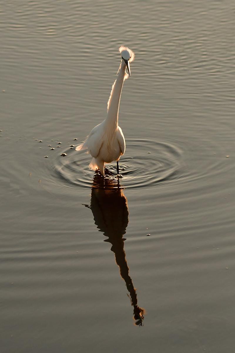DSC3088AV Little Egret Searching for Food #2