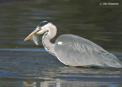 DSC3585AV Grey Heron with Fish