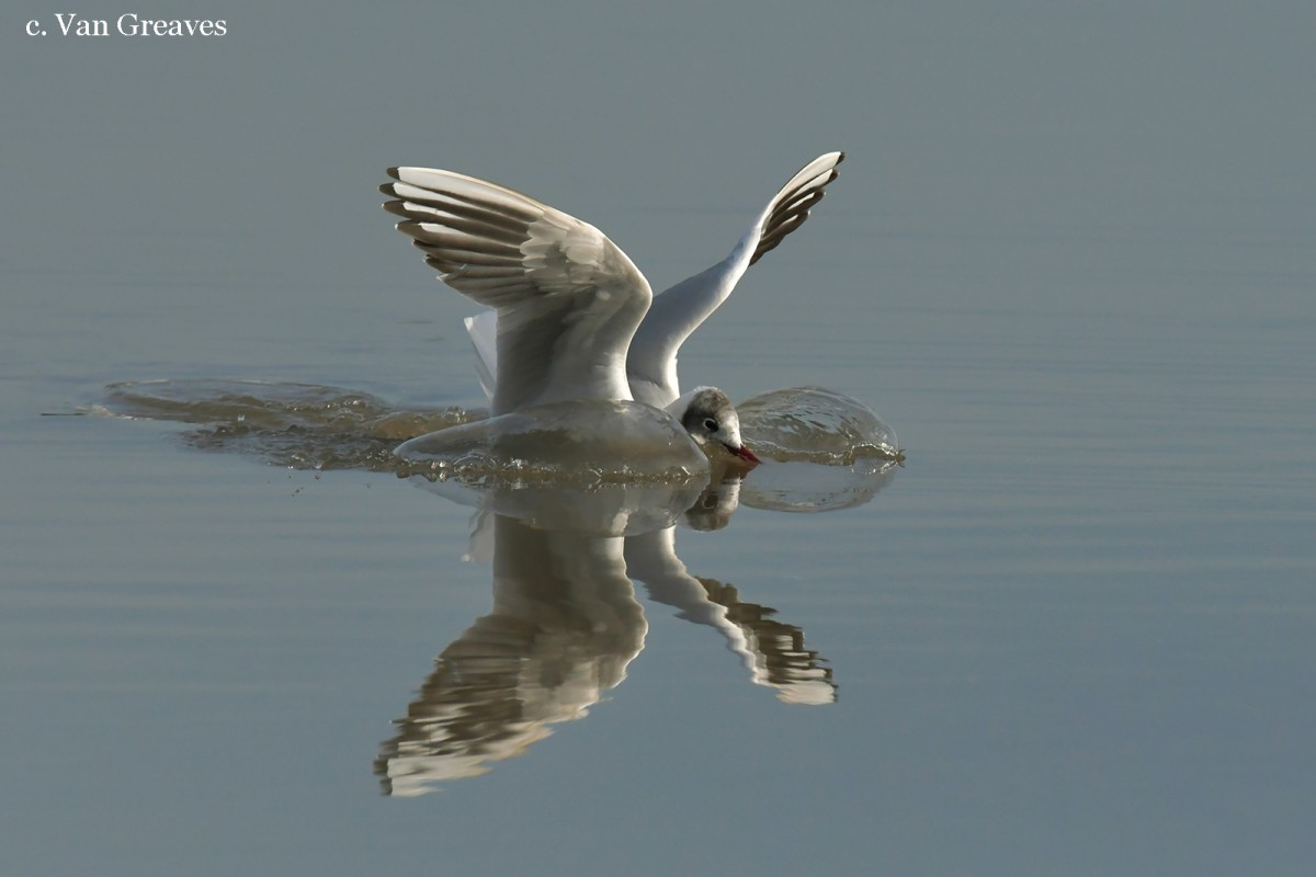 DSC4903a AV Black Headed Gull Landing Reflection THIS - Copy