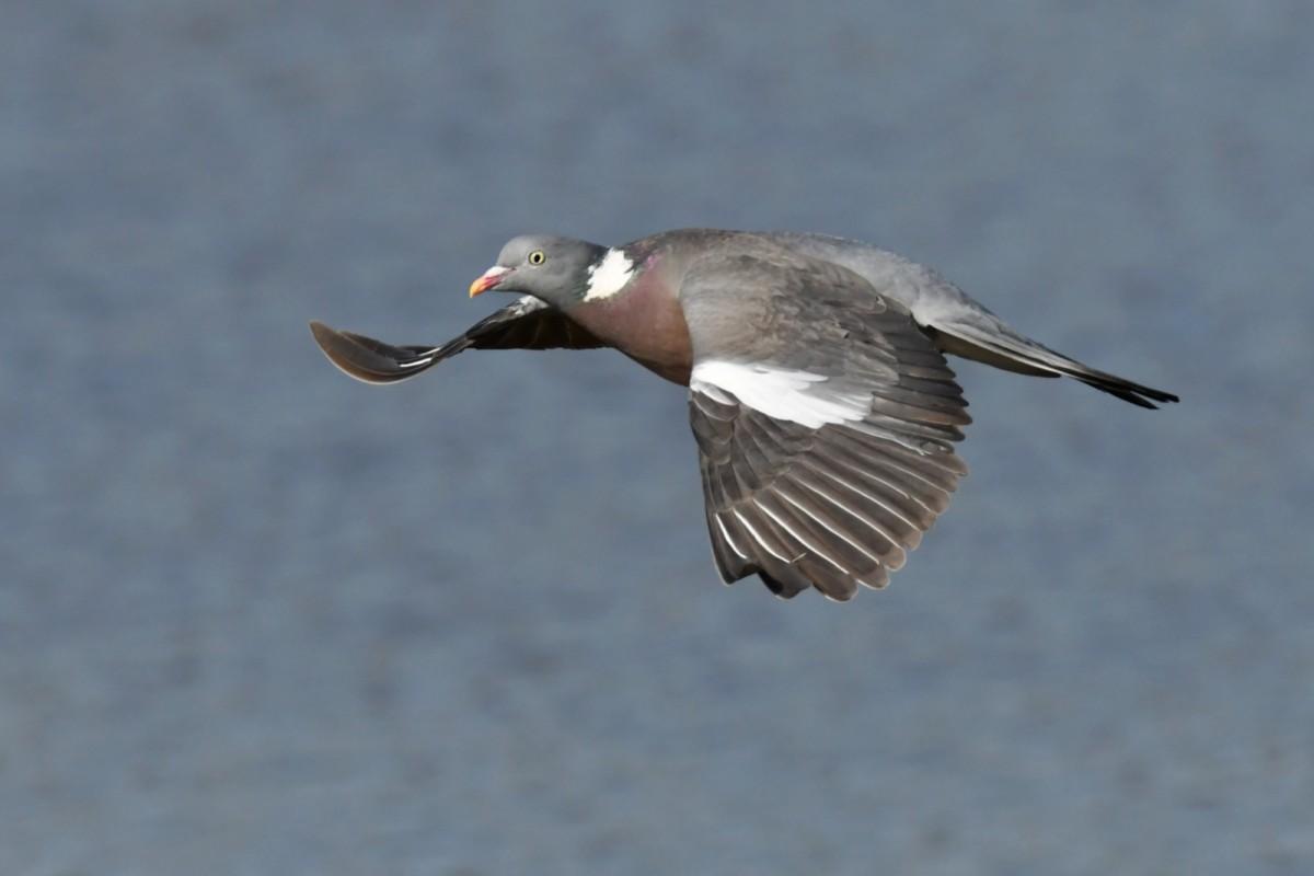 DSC9831 AV Wood Pigeon in Flight